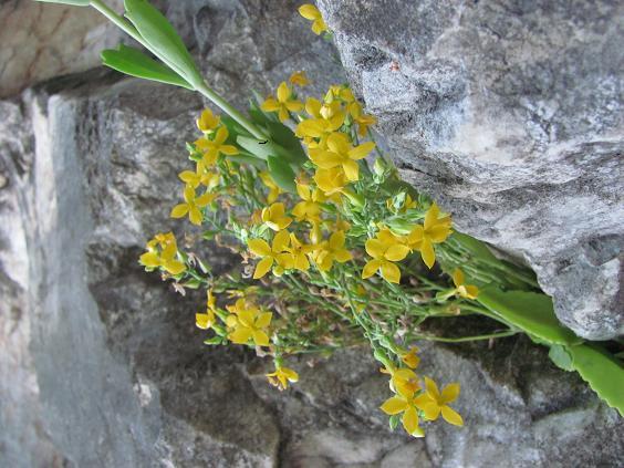 Loài hoa đá ở núi Ngũ Hành.